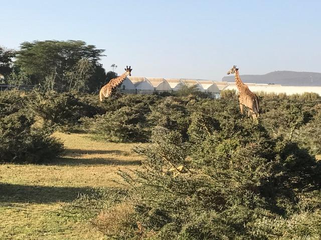 Verdel in Kenia